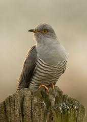 Cuckoo (Neil Higginson (@NeilsPhotos)) Tags: bird wings cuckoo wildlifephotograpy birdperfect
