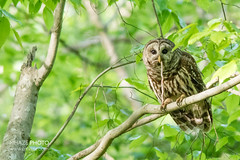 Snake, It's What's for Dinner (Michael R Hayes) Tags: bird nature nc snake wildlife northcarolina raptor owl prey owls birdsofprey barredowl bynum withsnake