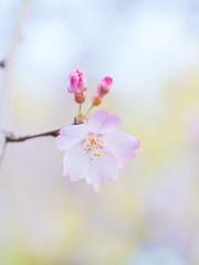 Shidare (H.H. Mahal Alysheba) Tags: flower macro japan cherry lumix dof bokeh pastel cherryblossom sakura elmarit 45mmf28 gx7 leicadg