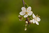 Sunny springday / Explored / (gabi_halla) Tags: door white plant flower macro green nature beauty pattern blossom outdoor plum bloom buds bud organic macros blooming macrophotography plumflower