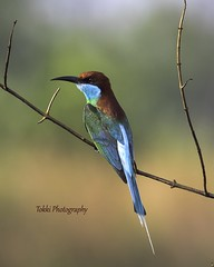 Blue throated bee eater. (Tok Ki, an idiot with cameras. (1 mil viewers)) Tags: bird nature birds wildlife beeeater bluethroated tokki pungut