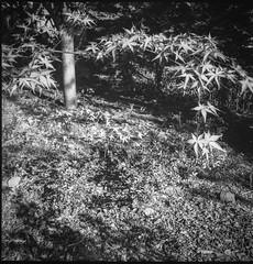 Japanese maple branches, leaves, yard, Asheville, NC, Argus Super Seventy Five, Ilford XP2 Super 400, Ilford Ilfosol 3 Developer, 4.26.16 (steve aimone) Tags: blackandwhite 120 film monochrome leaves yard mediumformat japanese maple asheville branches northcarolina japanesemaple ilfordxp2super400 argussuperseventyfive ilfordilfosol3developer epsonperfectionv550