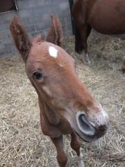 Hanoverian foal (ajoliver_56) Tags: horse fujifilm foal hanoverian equitation xf1 ajoliver56