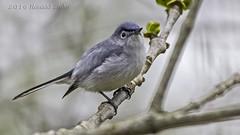 Blue-gray Gnatcatcher (Polioptila caerulea) IMG_9623 (ronzigler) Tags: bird nature canon sigma avian caerulea birdwatcher bluegray gnatcatcher polioptila 150600mm