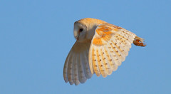 Daylight Hunter (jammo s) Tags: nature daylight flying wildlife owl barnowl birdofprey bif tytoalba birdinflight canonef400mmf56lusm canoneos80d