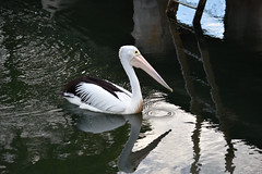Pelican and reflections (Merrillie) Tags: pelicans water birds animals fauna reflections photography bay twilight nikon wildlife australia wharf nsw woywoy d5500 nswcentralcoast centralcoastnsw