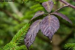 Blatt im Wind (Foo) Tags: natur wald baum tanne dornenhecke brombeerstrauch