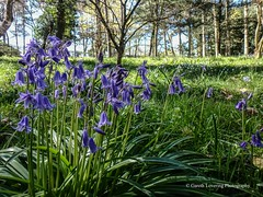 Bluebells at Clyne Gardens, Swansea 2016 04 20 #14 (Gareth Lovering Photography 2,000,000 views.) Tags: flowers gardens bluebells wales olympus lovering clyne clyneinbloom swanseainbloom