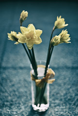 White Narcissus in Vase (Gabriele Diwald) Tags: blue white background blurred vase narcissus