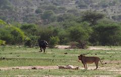 Lion pair being watched by a Buffalo (little_duckie) Tags: africa southafrica buffalo zebra cheetah giraffe impala hyena rhinoceros krugernationalpark kruger gamedrive kudu bushbuck