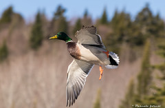 libert! (pascaleforest) Tags: nature flying duck nikon passion canard colvert voler mle biodiversit