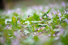 20160403-DSC_5911.jpg (d3_plus) Tags: sky plant flower macro nature rain japan walking nikon scenery waterdrop bokeh hiking drop daily telephoto rainy bloom  tele nikkor  wildflower  kanagawa   dailyphoto   thesedays 80200mm 80200 sagamihara   dogtoothviolet       8020028 zoomlense 80200mmf28d shiroyama  80200mmf28   erythroniumjaponicum     80200mmf28af d700  nikond700  aiafzoomnikkor80200mmf28sed dogtoothvioletvillage