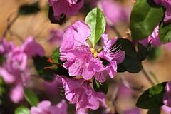 National Arboretum ~ Azalea blossom - HBW! (karma (Karen)) Tags: washingtondc dof azaleas bokeh blossoms bushes nationalarboretum hbw cmwdpinkpurple bokehwednesdays