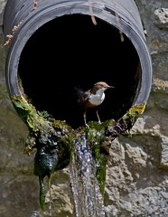 Dipper (  cinclus cinclus )  - My Manor !! (Mid Glam Sam1) Tags: water wales river droplets pipe local aquatic valleys dipper cincluscinclus waterouzel localpatch