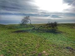 Tree (Mark Bridge) Tags: tree sussex devilsdyke