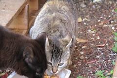 IMG_0328 (pcolmena) Tags: cat gris gato comiendo rubio micho