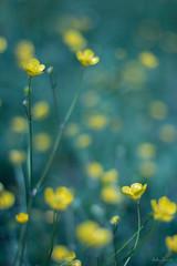 Guardate nel profondo della natura, e allora capirete meglio tutto. (Albert Einstein) (ambrasimonetti) Tags: flowers nature yellow ranunculus fairy ranuncolo