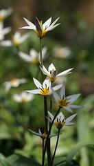 20160404-007F (m-klueber.de) Tags: flora franken tulipa tulpe liliaceae 2016 unterfranken europische turkestanica mainfranken liliengewchse mitteleuropische mkbildkatalog turkestanische 20160404 20160404007f