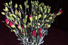DSC_0864 Rose Buds (PeaTJay) Tags: flowers roses plants macro nature rose gardens fauna reading flora sigma indoors micro closeups berkshire rosebuds lowerearley nikond750