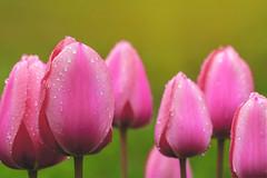 TULIP 2016 (Bony Nguyen) Tags: pink flowers flower macro canon spring tulip frhling tulpen canon100mm tulipseason 5dmarkii 5dmkii 5dm2 5dmii canon5dmii 100mm28is