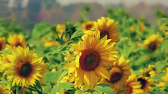 Brighter than the sun.. (hailin.elle) Tags: plant nature petals flora asia blossom outdoor taiwan yellowflower sunflowers sunflower bloom taichung bigflower sunflowerfield