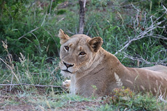 Lion (pixpeeper) Tags: southafrica bush lion kruger satara afrique ef70200f4isusm pixpeeper canon7dii