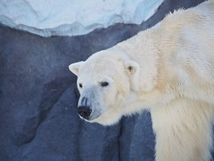 Ikor (EmilyOrca) Tags: bear white eye face animal mammal zoo marine polar