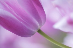 ORIOLES (ajpscs) Tags: flower macro japan japanese tokyo spring purple petal  nippon   tamron orioles  haru  springflower   seasonchange  showakinenkoen ajpscs  tamron180mm  springtulip  helloapril  nikond750 ifeelsoclose oriolestulip