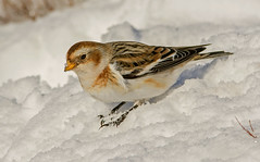 JWL5666  Snow Bunting.... (jefflack Wildlife&Nature) Tags: nature birds countryside wildlife avian cairngorms songbirds buntings snowbunting wildbirds