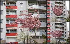 118-366, Also heute war es  ziemlich windig... (julia_HalleFotoFan) Tags: wind april baum blten kirschbaum hallesaale zierkirsche