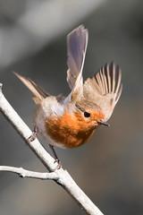 Robin take off -1262 (Martin Horne1) Tags: bird robin