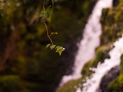 Ivy (by the falls) (i-r-paulus) Tags: green waterfall moss spring dof bokeh ivy depthoffield dartmoor mossy legacylens venfordfalls