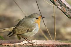 Rouge-gorge (chogori20) Tags: bird nature robin rougegorge