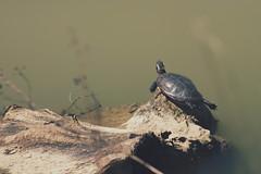 basking turtle (thatgirlwiththekicks) Tags: park wood ontario canada nature water turtle waterworks stthomas saintthomas