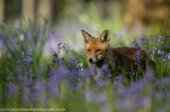 Fox Among Bluebells (Alastair Marsh Photography) Tags: sunset sun sunlight sunshine animal animals fur mammal wildlife fox mammals foxes bluebell britishwildlife bluebellwoods redfox vulpesvulpes bluebellwood britishmammal foxvixen britishmammals britishanimals britishanimal redfoxvixen animalsintheirlandscape