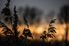Reeds In Sunset (pogmomadra) Tags: sunset reeds nikon bokeh norfolk hbw happybokehwednesday d5300 pogmomadra