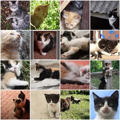 mosaico de algunas fotos mias de gatos (Juan Barra Photography) Tags: pet cat fdsflickrtoys kitty gato mascota gatita gatito