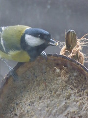 x P2250421c Hungry Great Tit . ! . (Erniebobble *~* HappyHolyWeek2018! *~*) Tags: winter portrait brown blur bird eye window nature wet weather silhouette contrast woodland garden season grey wings focus soft colours looking feeding head wildlife tail profile beak cream overcast hidden rainy bbc edge environment perched visitor dull climate newforest avian songbird unseen feathered plumage twitcher subdued 2016 behaviour rspb wildlifegarden unsprung chrispackham bgbw winterwatch erniebobble