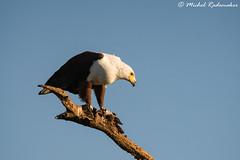 Catch Of The Day (Michel Rademaker) Tags: fish bird animal natal southafrica eagle outdoor sony lagoon safari hide raptor afrika alpha tamron kwazulunatal 2015 kzn zuidafrika specanimal 150600mm zimanga a77ii a77m2