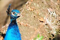 Pavone nel parco di Arenzano (Cane Billi ) Tags: parco nikon liguria occhi sguardo tamron ritratto pavone d300 arenzano linneo provinciadigenova pavonecomune