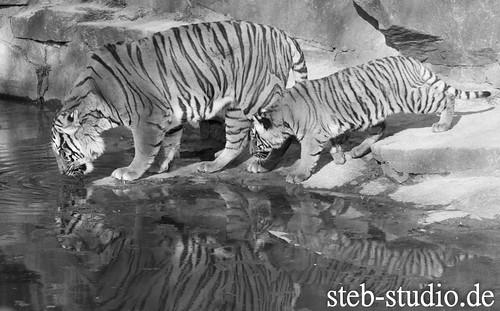 Hinterindischer Tiger -> Indochina Tiger