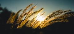 DSC05732 (reivaxnc) Tags: sunset orange sun flower art 35mm plante de f14 sigma newcaledonia extrieur champ profondeur nouma