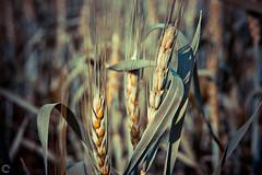 Wheat!! (raveclix) Tags: india nature canon farm wheat grain cereal sigma incredibleindia canoneos400d digitalrebelxti raveclix