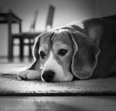 Portrait beagle dog in cozy home (CreativePhotoTeam.com) Tags: portrait dog pet brown house color cute eye home beagle nature beautiful beauty animal comfortable fur carpet mammal sadness one cozy beige friend waiting warm alone loneliness sad looking floor head young hound adorable canine down scene retriever livingroom indoors domestic tired depression resting relaxation lying pitiful snout purebred pedigreed