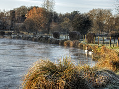 Frosty swans on the River Itchen, Winchester (neilalderney123) Tags: water river landscape olympus swans winchester easton itchen 2016neilhoward