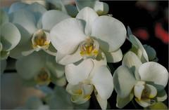 orchidee (atsjebosma) Tags: old white flower macro nature ngc january nederland thenetherlands groningen orchidee blooming bloem 2016 bloeien atsjebosma coth5