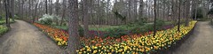 tulip panorama (Pejasar) Tags: panorama color spring tulips pano arkansas hotsprings garvanwoodlandgardens