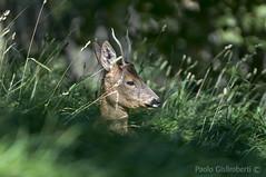 Capriolo, Capreolus capreolus, Roebuck (paolo.gislimberti) Tags: animals herbivores mammals mimicry animali ungulates mimetismo ungulati erbivori mammiferi