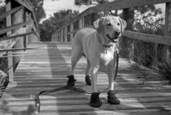 Adventure Dog (PositiveAboutNegatives) Tags: dog film lab labrador yellowlab rangefinder foam kiev2a