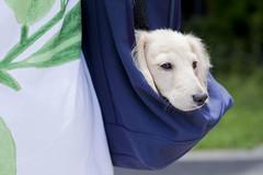 IMG_4149 (yukichinoko) Tags: dog puppy dachshund 犬 kinako 子犬 ダックスフント ダックスフンド きなこ